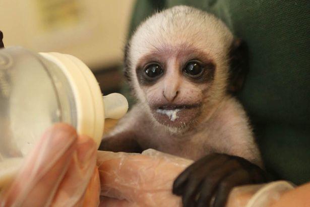 Khỉ mới sinh có khuôn mặt như Chúa tể hắc ám - 5