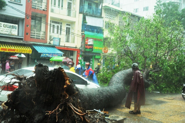 Cổ thụ lại bật gốc, đè người đi đường giữa Sài Gòn - 1