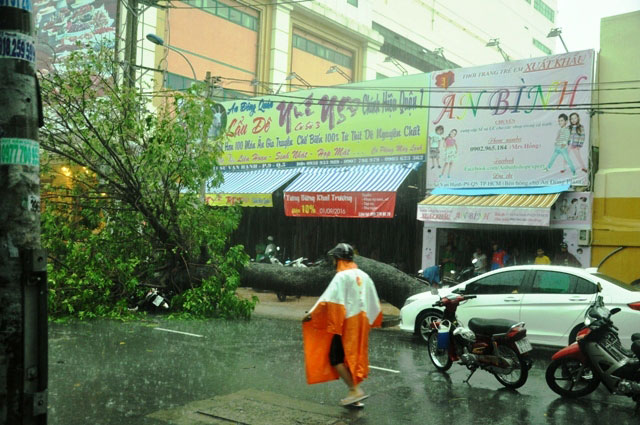 Cổ thụ lại bật gốc, đè người đi đường giữa Sài Gòn - 7