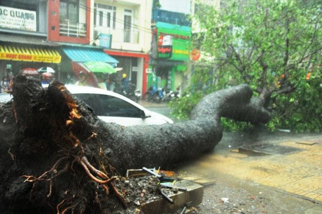 Cổ thụ lại bật gốc, đè người đi đường giữa Sài Gòn - 4