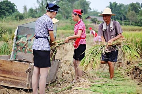 Nữ tiếp viên hàng không TQ đi giày cao gót gặt lúa - 1