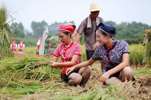 Nữ tiếp viên hàng không TQ đi giày cao gót gặt lúa - 3