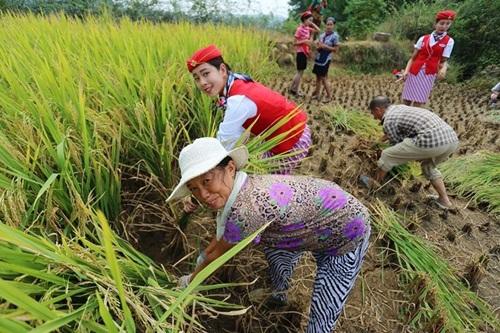 Nữ tiếp viên hàng không TQ đi giày cao gót gặt lúa - 4