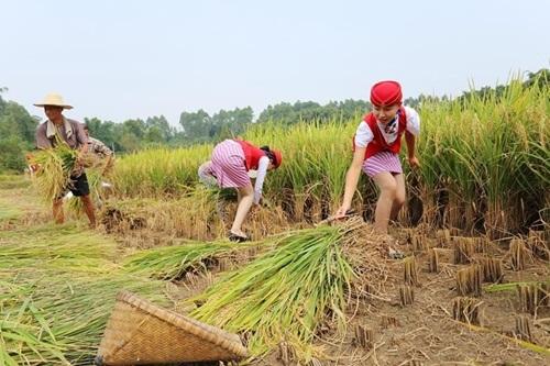 Nữ tiếp viên hàng không TQ đi giày cao gót gặt lúa - 5