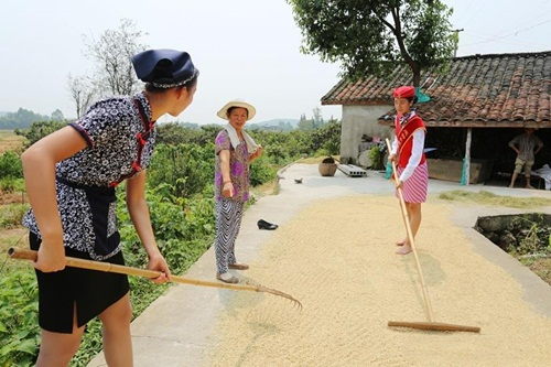 Nữ tiếp viên hàng không TQ đi giày cao gót gặt lúa - 6