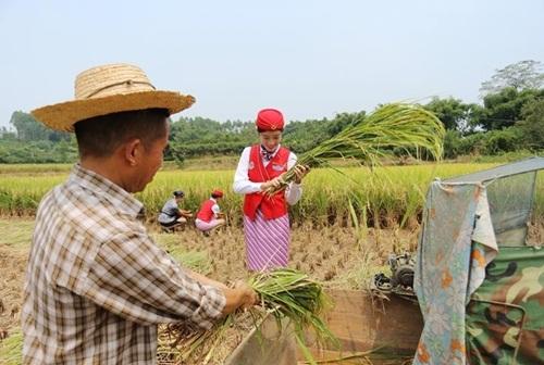 Nữ tiếp viên hàng không TQ đi giày cao gót gặt lúa - 8