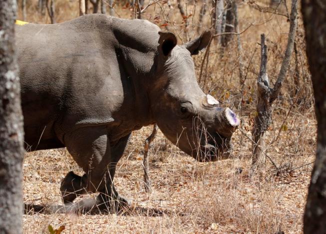 Zimbabwe chặt toàn bộ sừng tê giác để chống săn trộm - 3