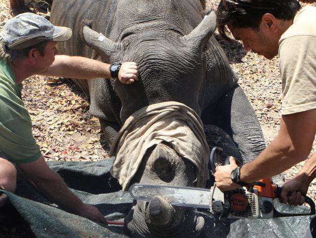 Zimbabwe chặt toàn bộ sừng tê giác để chống săn trộm - 1