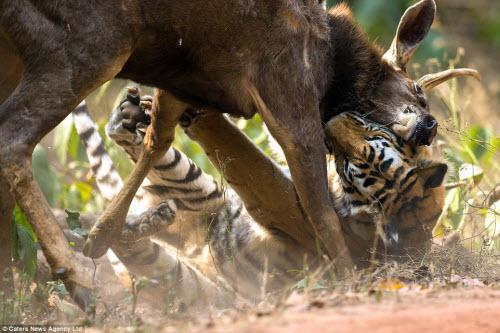 Hươu vật lộn với hổ suốt 20 phút và cái kết không ngờ - 1