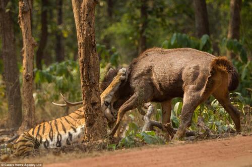 Hươu vật lộn với hổ suốt 20 phút và cái kết không ngờ - 2