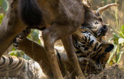 Hươu vật lộn với hổ suốt 20 phút và cái kết không ngờ - 3