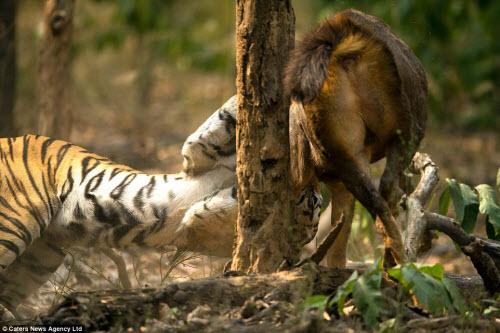 Hươu vật lộn với hổ suốt 20 phút và cái kết không ngờ - 4