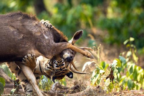 Hươu vật lộn với hổ suốt 20 phút và cái kết không ngờ - 5