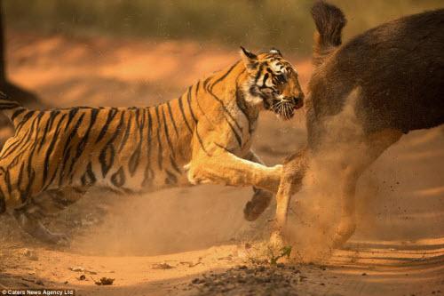 Hươu vật lộn với hổ suốt 20 phút và cái kết không ngờ - 9