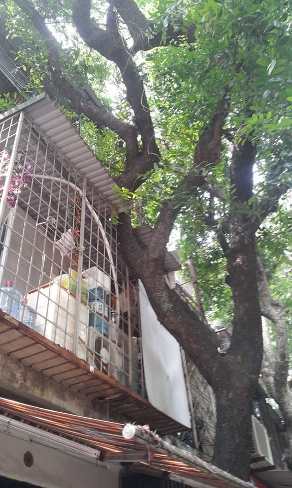 """Kỳ dị khu tập thể """"cây mọc xuyên nhà"""" - 2"""