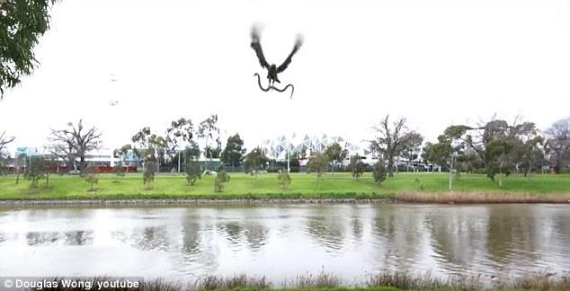 Úc: Diều hâu cắp rắn độc thả vào bữa tiệc thịt nướng - 1