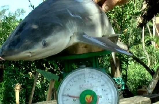 Lão nông bắt được cá mập trên... sông Cổ Chiên - 1