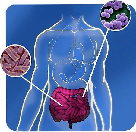 Trị béo phì từ... vi khuẩn ruột - 1