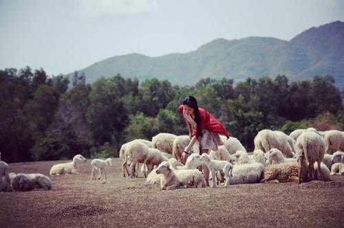 """Đến cánh đồng cừu đang """"hót hòn họt"""" ở Bà Rịa-Vũng Tàu - 2"""