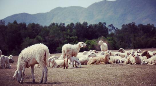 """Đến cánh đồng cừu đang """"hót hòn họt"""" ở Bà Rịa-Vũng Tàu - 1"""