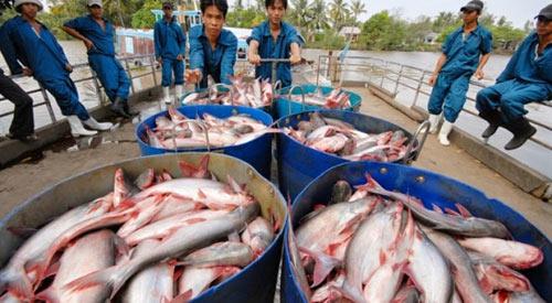 Thương lái TQ gian manh, người dân nuôi cá tra điêu đứng - 1