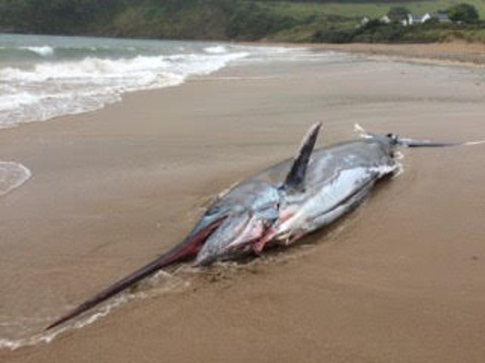 Cá kiếm khổng lồ 91kg dạt bờ biển nước Anh - 1