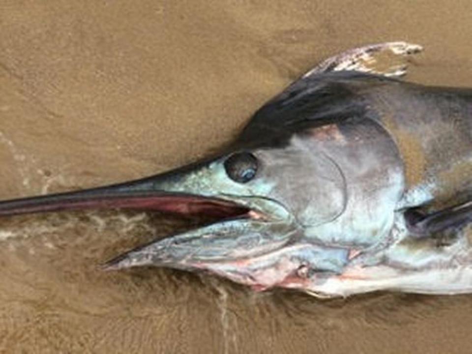 Cá kiếm khổng lồ 91kg dạt bờ biển nước Anh - 3