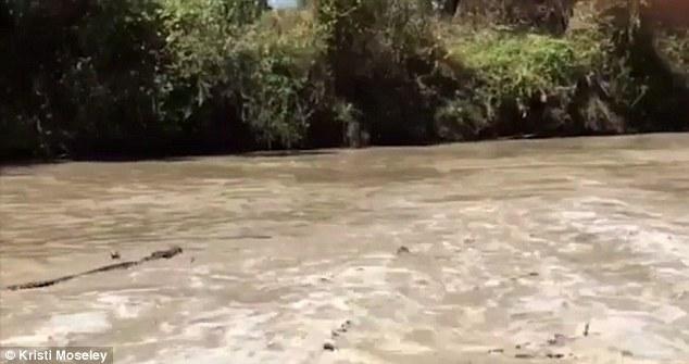 Úc: 21 cá sấu bơi ngược dòng lũ, chực sẵn chờ đớp người - 1