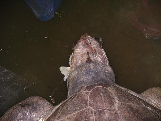 Rùa biển chết nghi ăn phải chất thải - 2