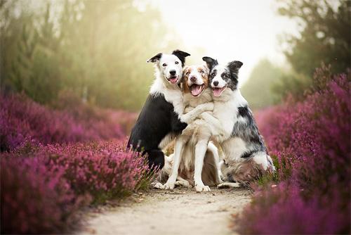 3 chú chó chụp ảnh thơ mộng giữa cánh đồng hoa - 1