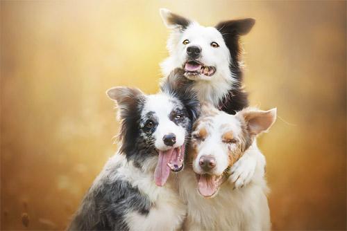 3 chú chó chụp ảnh thơ mộng giữa cánh đồng hoa - 4
