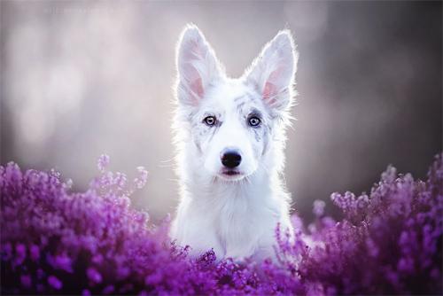3 chú chó chụp ảnh thơ mộng giữa cánh đồng hoa - 5