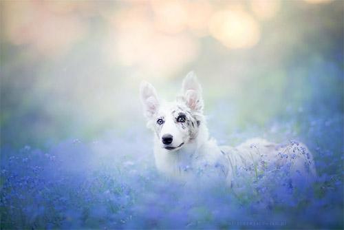 3 chú chó chụp ảnh thơ mộng giữa cánh đồng hoa - 6