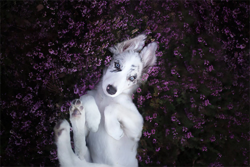 3 chú chó chụp ảnh thơ mộng giữa cánh đồng hoa - 8