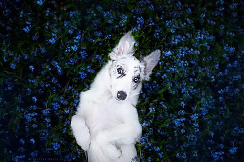 3 chú chó chụp ảnh thơ mộng giữa cánh đồng hoa - 10