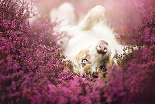 3 chú chó chụp ảnh thơ mộng giữa cánh đồng hoa - 11