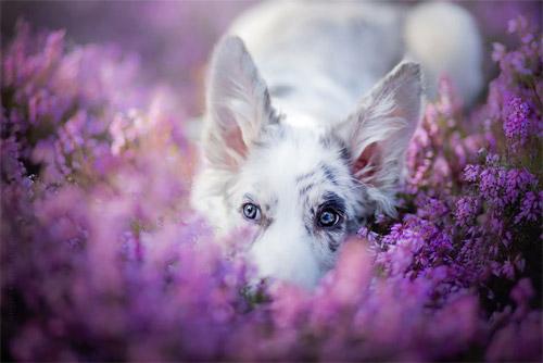 3 chú chó chụp ảnh thơ mộng giữa cánh đồng hoa - 12