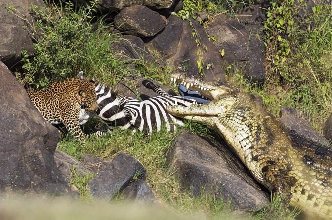 """Cá sấu khổng lồ bất lực để lọt mồi ngon vào """"tay"""" báo đốm - 4"""