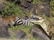 """Thế giới - Cá sấu khổng lồ bất lực để lọt mồi ngon vào """"tay"""" báo đốm"""