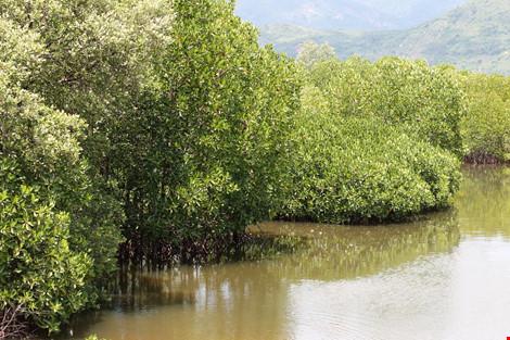 Ngắm rừng đước xanh mướt dọc làng chài vừa hồi sinh - 4