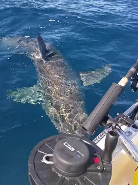 Úc: Cá mập trắng tấn công thuyền câu, cắn nát động cơ - 1