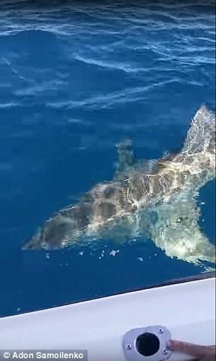 Úc: Cá mập trắng tấn công thuyền câu, cắn nát động cơ - 2