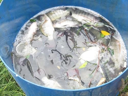 Người Đà Nẵng đổ ra biển bắt… cá nước ngọt - 3