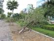 Không hứng bão, hàng loạt cây xanh ở Đà Nẵng vẫn đổ gục