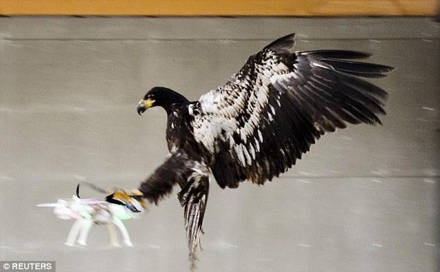 Hà Lan dùng đại bàng tóm thiết bị bay không người lái - 1