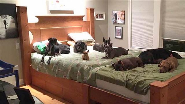 Vợ chồng đóng giường siêu rộng ngủ cùng 8 chú chó hoang - 2
