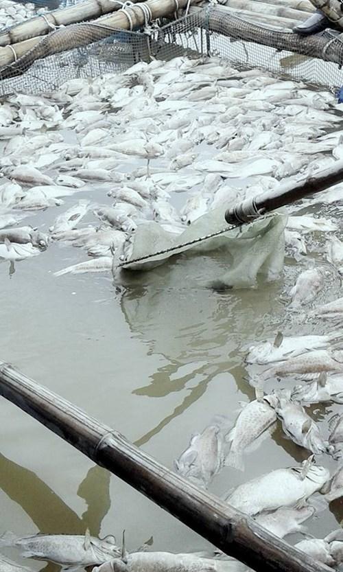 Cá mú, hàu nuôi lồng bè chết bất thường ở Hà Tĩnh - 2
