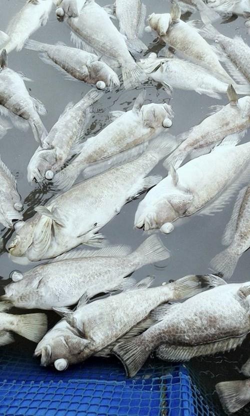 Cá mú, hàu nuôi lồng bè chết bất thường ở Hà Tĩnh - 3
