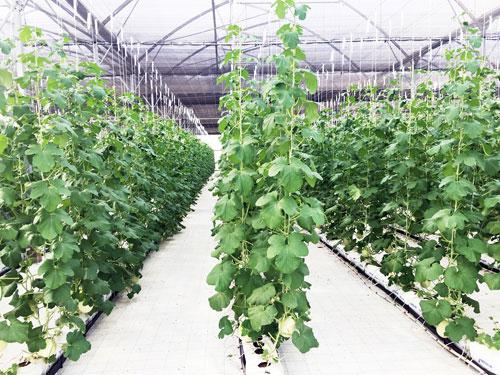 Vingroup ra mắt sản phẩm trái cây nhà kính đầu tiên - 3