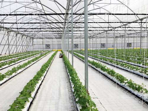 Vingroup ra mắt sản phẩm trái cây nhà kính đầu tiên - 4